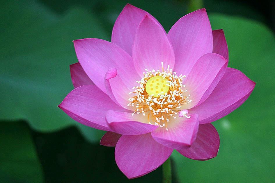 O budismo e a flor de lótus